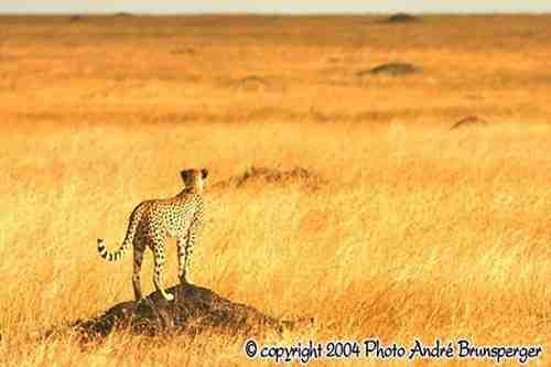 Guépard scrute la plaine - Réserve de Masaï Mara au Kenya