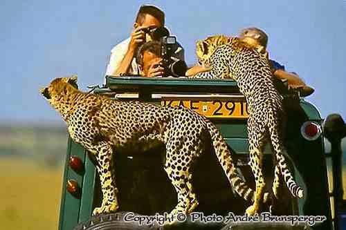 Guépard montent sur la voiture - Réserve de Masaï Mara au Kenya