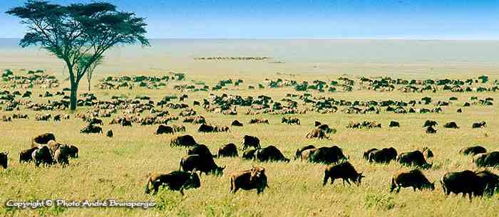Migration - Réserve de Masaï Mara au Kenya