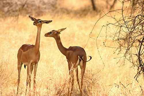 Gerenuk dans les réserves de Samburu Buffalo Springs au Kenya