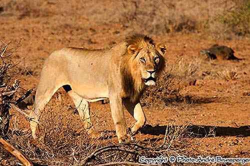Lion dans le Tsavo National parc