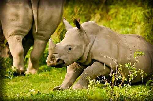 Rhinocéros - safari Kenya extension gorilles Ouganda