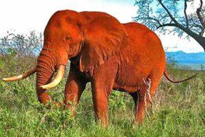Eléphant rouge Parc Tsavo Kenya